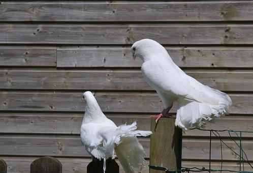 White Pigeon, Couple, Cooing, Tuning, Dominant, Birds