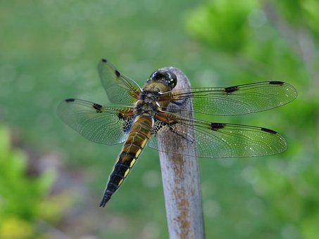 Four-spotted Dragonfly, Dragonflies, Close Up, Nature