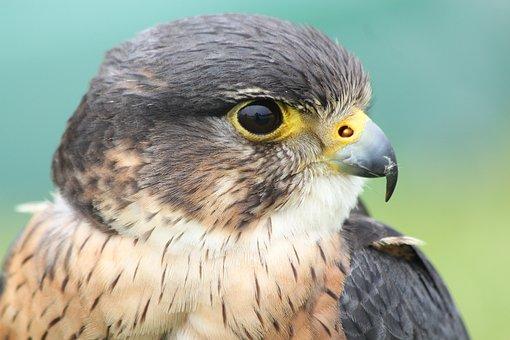 Falcon, Bird, Prey, Hunter, Wildlife, Closeup