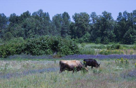 Rural, Field, Cows, Farm, Landscape, Countryside