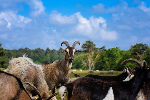 Goat, Horns, Flock, Livestock, Bock, Goat Buck, Bart