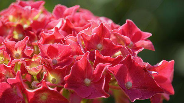 Hydrangea, Flowers, Pink, Flora, Nature, Garden, Summer