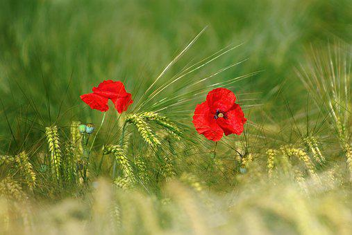 Flower, Poppy, Red, Nature, Blossom, Bloom, Field