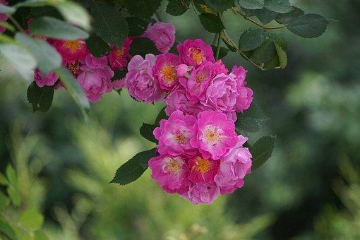 Rose, Rose Bloom, Pink, Blossom, Bloom, Flower