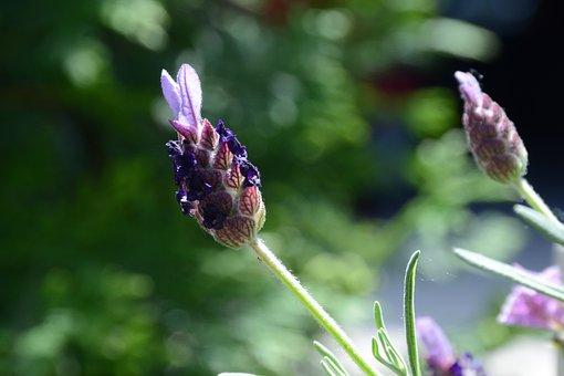 Lavender, Purple, Flowers, Summer, Fragrance, Garden