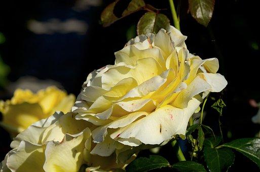 Rose, Garden, Nature, Beauty, Romantic, Summer