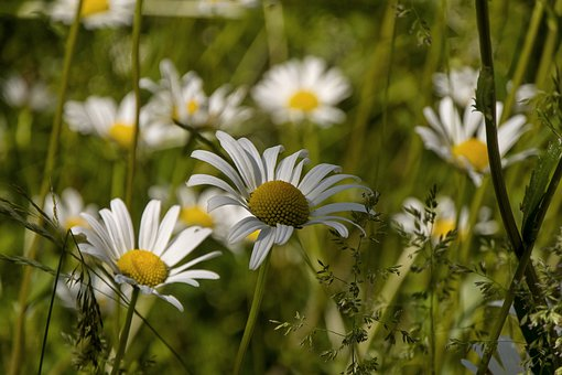 Marguerite, Pointed Flower, Nature, Close Up, Grass