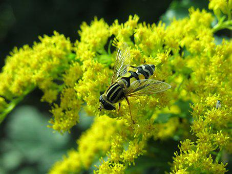 Great Swamp Hover Fly, Helophilus Trivittatus