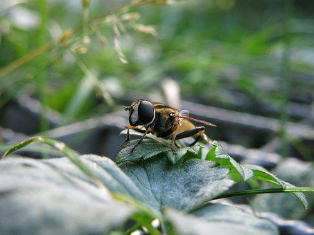 Great Swamp Hover Fly, Helophilus Trivittatus, Insect