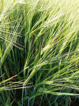 Wheat, Cereals, Field, Summer, Sun, Harvest, Nature