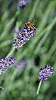 Honey Bee, Insect, Lavender, Flowers, Bloom, Flying