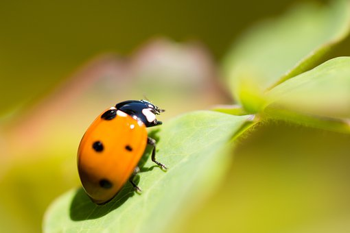 Luck, Ladybug, Beetle, Nature, Insect, Lucky Charm, Red