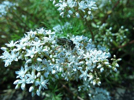 Bee, White Stonecrop, Sedum Album, Ground Cover, Insect