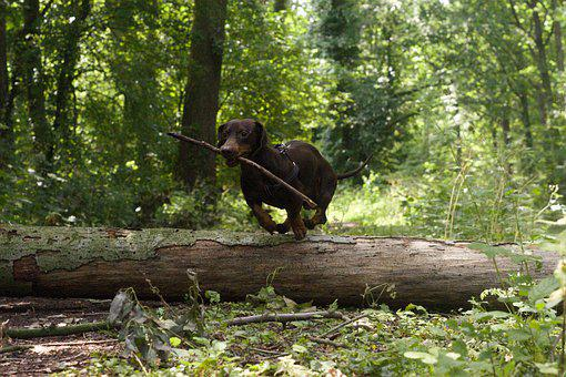 Dog, Log, Jump, Dachshund, Wiener, Park, Play