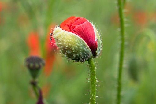 Poppy, Klatschmohn, Bud, Unfold, Red, Poppy Flower