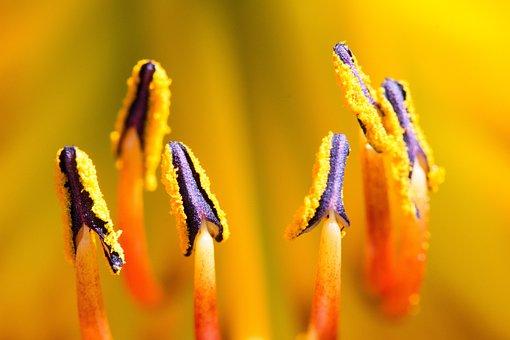 Blossom, Bloom, Lily, Stamen, Flower, Nature, Plant