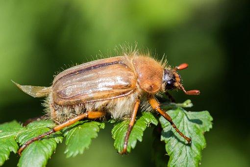 Chafer, Maikäfer, Krabbeltier, Insect, Close Up, Macro
