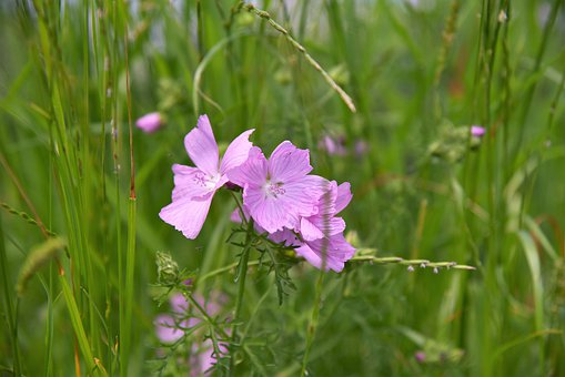 Mallow, Meadow, Pointed Flower, Grasses, Green