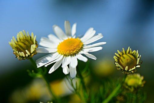 Chamomile, Flower, Plant, Herb, Tea, Medicinal, Healthy