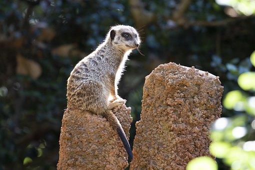 Meerkat, Animals, Nature, Mammal, Cute, Zoo, Watch