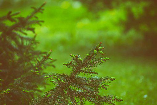 Spruce, Branch, Fir Tree, Conifer, Nature, Garden