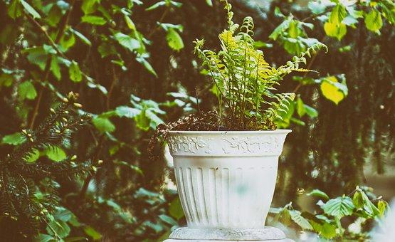 Fern, Plant, Green, Pot, Flowerpot, Nature, Leaf, Flora