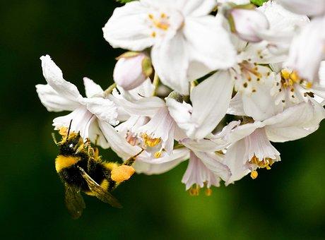 Of Deutzia Flower, Nature, Hummel, Vegetable Garden