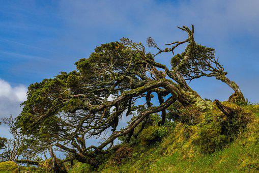 Azores, Trees, Windschief, Old, Overgrown, Nature