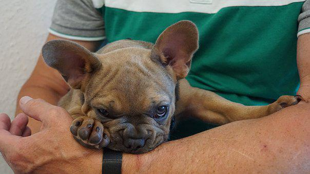 Puppy, French Bulldog, On The Arm, Man, Paws, Eyes