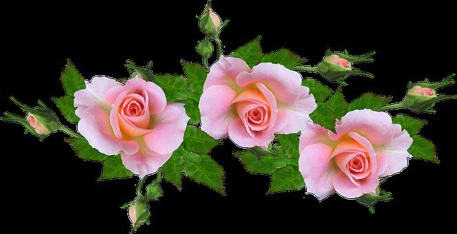 Roses, Pink, Flowers, Perfume, Greeting Card