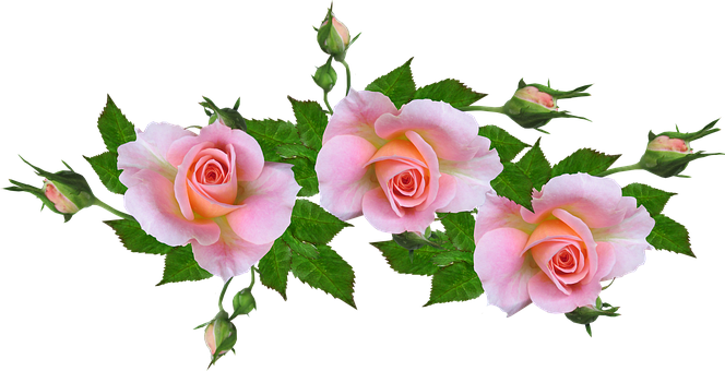 Roses, Pink, Flowers, Perfume, Garden, Cut Out
