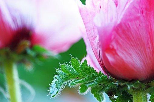 Poppy, Pink Poppy, Pink, Blossom, Bloom, Poppy Flower