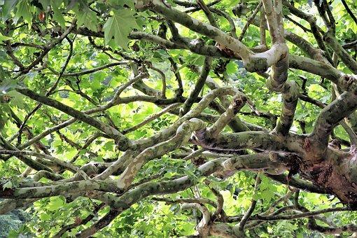 Tree, Aesthetic, Sycamore, Pseudo-acacia, Green, Leaves