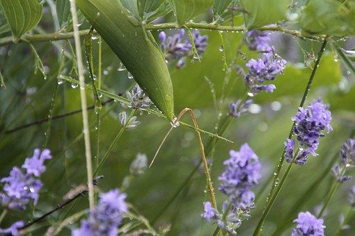 Lavender, Rain, Plant, Blossom, Bloom, Garden, Summer