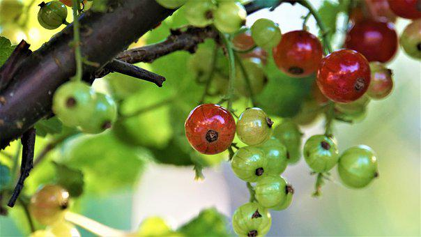 Currants, Bush, Garden, Summer, Immature, Ripe, Fruits