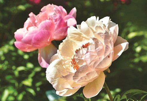 Peony, Rose, Bud, Pentecost, Blossom, Bloom, Flower