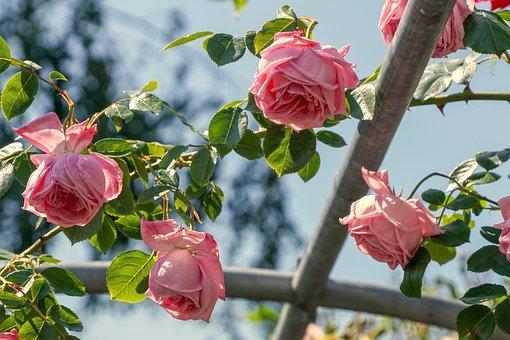Roses, Fragrance, Pink, Hanging, Bush Roses, Trellis