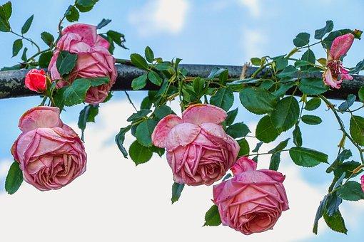 Roses, Flowers, Pink, Romance, Romantic, Sky, Summer