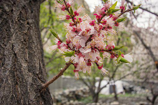 Spring, Colors, Bloom, Blosom, Cherry