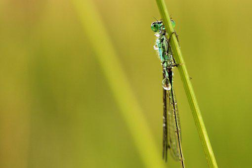 Spring Dragonfly, Dragonfly, Insect, Small Dragonflies