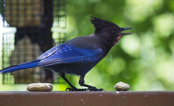 Stellar Jay, Bird, Backyard, Wildlife, Birding, Nut
