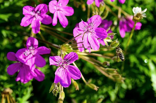 Cranesbill, Garden, Nature, Close Up, Flora, Summer