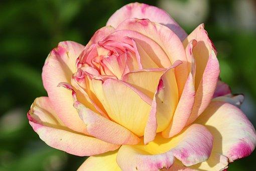 Rose, Pink, Yellow, Light, Tender, Rose Bloom
