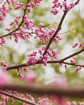 Flowers, Tree, Bloom, Branch, Blossom, Spring, Pink