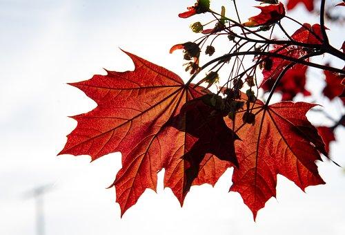Maple, Leaf, Nature, Autumn, Tree, Fall, Season