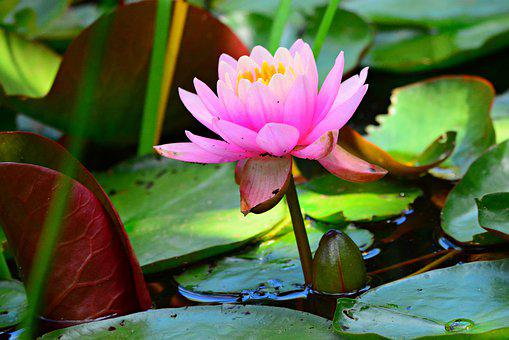 Water Lily, Flower, Aquatic Plant, Petal, Stem, Water