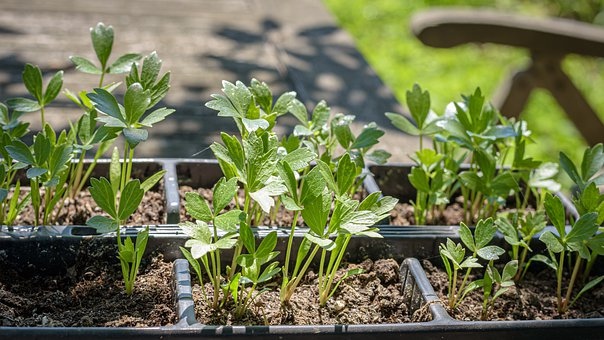 Lovage, Maggi Herb, Young Plants, Growing Trays