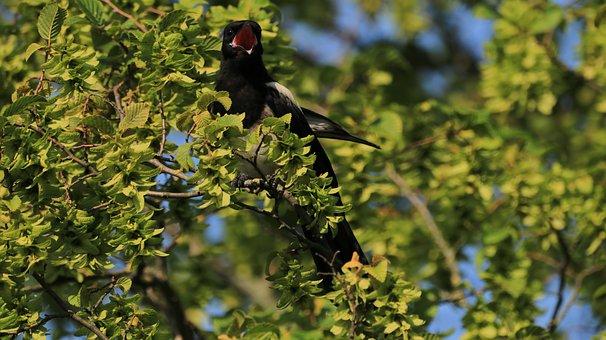 Elster, Tree, Bird, Animal, Animal World, Feather
