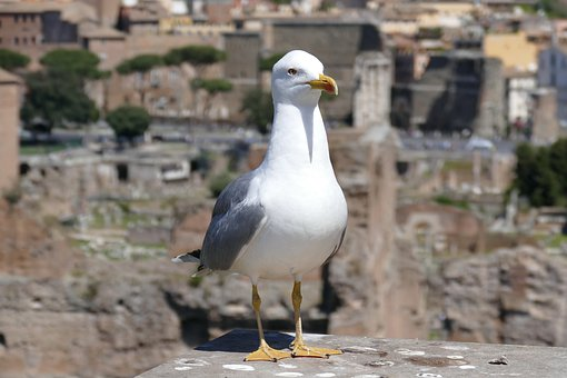Seagull, Rome, The Roman Forum, Animal, Bird
