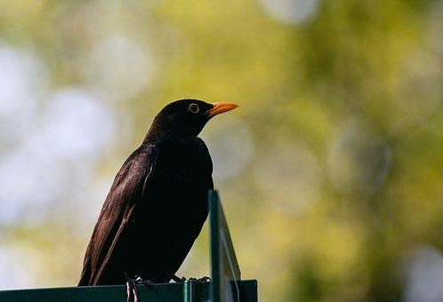 Blackbird, Bird, Songbird, Animal, Animal World, Black
